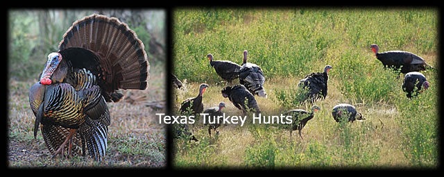 We offer affordable turkey hunts on private well managed ranches in southwest Texas. Call today and reserve your spot.